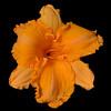 meridian-gardens-lilies-19