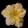 meridian-gardens-lilies-29