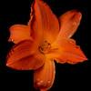 meridian-gardens-lilies-17