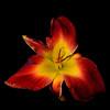 meridian-gardens-lilies-11