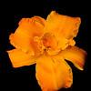 meridian-gardens-lilies-04
