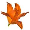 meridian-gardens-lilies-47