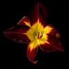 meridian-gardens-lilies-20