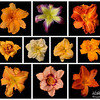 meridian-gardens-lilies-collage-08
