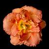 meridian-gardens-lilies-25