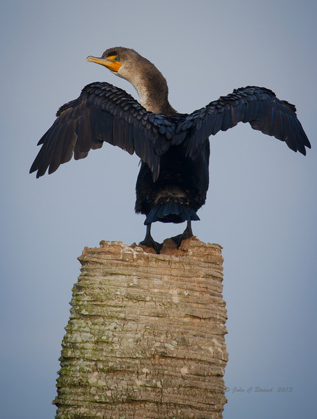 Cormorant drying its wings.............