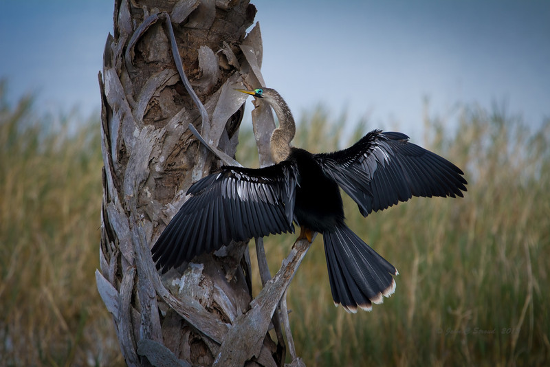 Anhinga patiently drying its feathers.