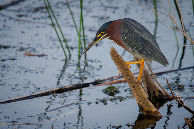 Green Heron focuses on next meal.