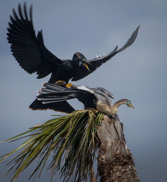 Anhingas doing what Anhingas do on spring days.............