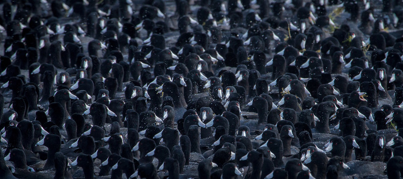 """Yea, I know..........they're just coots, but gotta love the challenge of trying to capture """"coot chaos"""" ( notice the anchor of three triangled faces in lower middle ? )."""