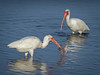 White Ibis catches crab while partner looks on with envy.
