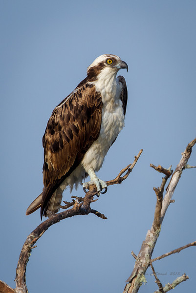Osprey perched on branch overlooking marsh area of Gator Creek at Merritt Island Wildlife Refuge.