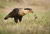 Same Caracara lunching on a fish snatched from the nearby wetlands.