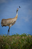 Same Sandhill Crane as previous - this time he's tracking a Bald Eagle hunting from sky.