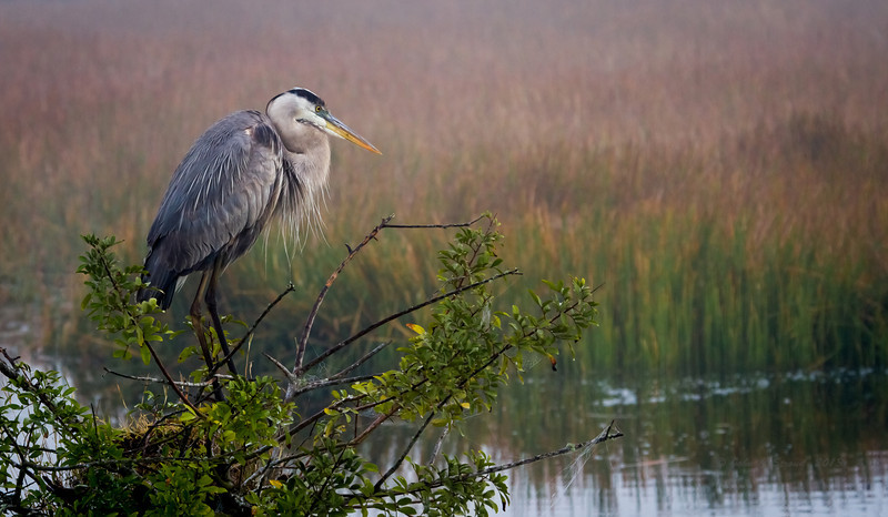 Great Blue Heron lording over his marsh domain, patiently waiting for early morning fog to lift.