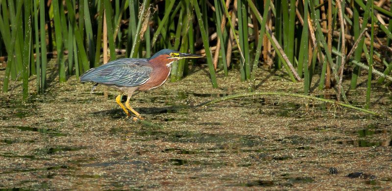 Green Herons can hold this 'strike' position for hours, it seems..........but don't see many out in the open like this.