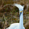 Snowy Egret with a bad hair day