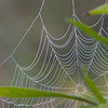 Spider Web with Dew - Oak Openings Habitat - Honorable Mention