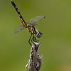 Blue Dasher (female) - Local Fauna - Honorable Mention
