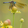 Blue Dasher on Gray Headed Coneflower - 2008 Open Nature Fauna - Honorable Mention