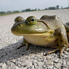 Bullfrog on Road - Local Fauna - Honorable Mention