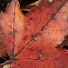 Fallen Sugar Maple Leaf