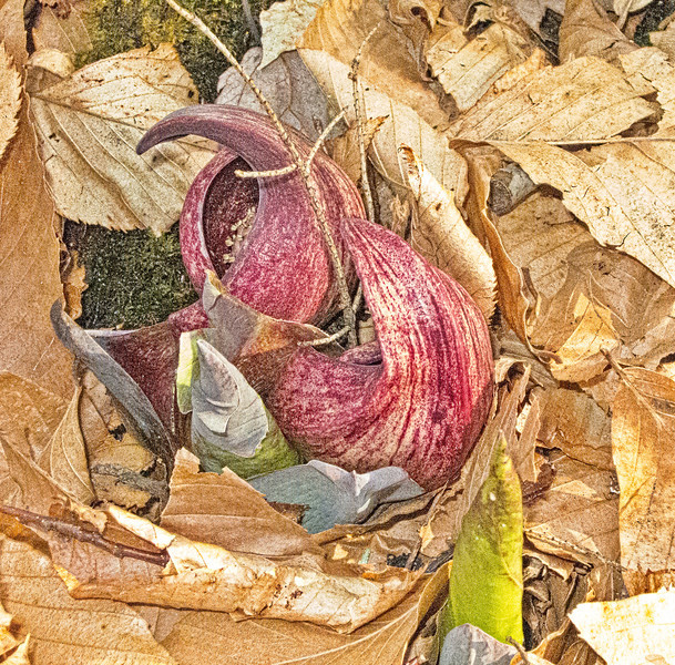 Emerging Skunk Cabbage Spaethe