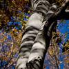 Mianus Gorge Preserve - Fall 2009 - American Beech