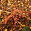 Mianus Gorge Preserve - Fall 2009 - Barberry, christmas Fern & Leaf Litter