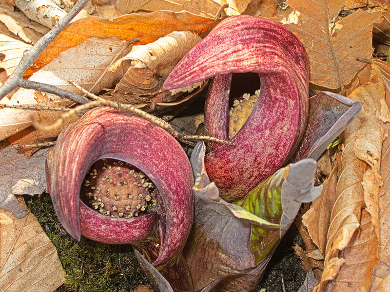 Emerging Skunk Cabbage Spaethe and Spadix