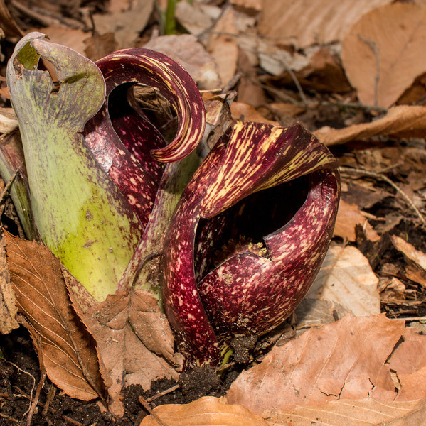 Skunk cabbage spaeth April 2014 (Voightlander 28mm lens and on-camera fill flash)