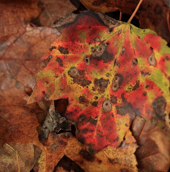 Decaying sugar maple leaf on forest floor