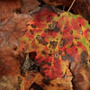 Decaying sugar maple leaf on forest floor