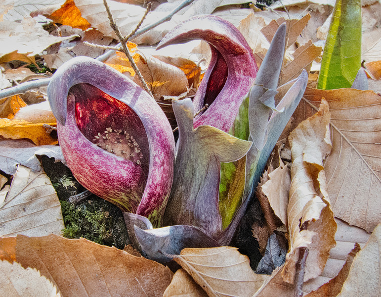 """Skunk cabbage spaeth and spadix - see <a href=""""http://natureinstitute.org/pub/ic/ic4/skunkcabbage.htm"""">http://natureinstitute.org/pub/ic/ic4/skunkcabbage.htm</a>"""