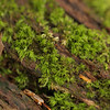 Sphagnum Moss on Decaying Log
