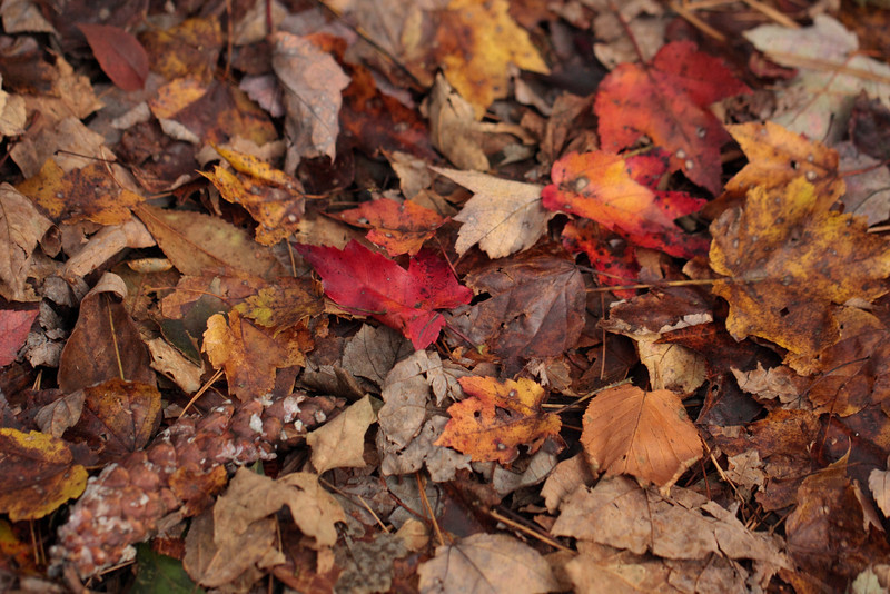 Maple & Beech Leaves with White Pine Cone on Forest Floor