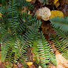 Mianus Gorge Preserve - Fall 2009 - Christmas Fern