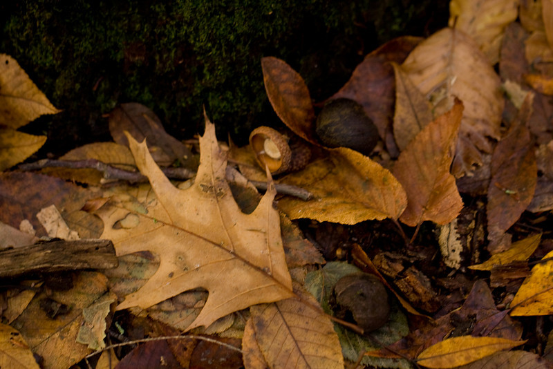 Mianus Gorge Preserve - Fall 2009 - Fallen Red Oak Leaf, Hickory Leaves and and Hickory Husks