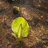Emerging skunk cabbage in tributary stream of Mianus River (Voightlander 28mm pancake lens and on-camera fill flash)