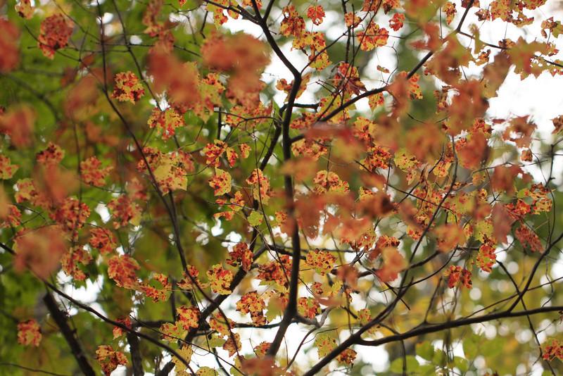 October Sugar Maple