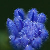 Early morning dew on furled chickory blossom