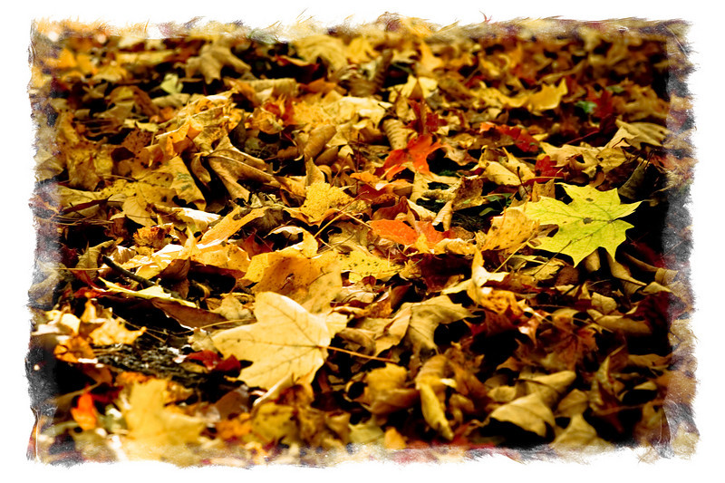 Fallen leaves in the woods.
