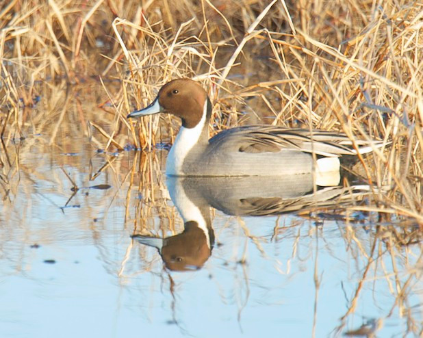 Pintail Duck, male