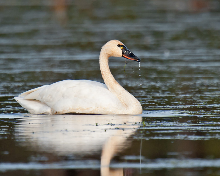 Swan, drinking
