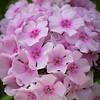 Michelle's Garden - Phlox