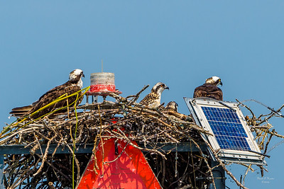 Channel Marker Ospreys