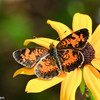 Northern Pearl Crescent Butterfly