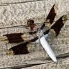 Common White Tail Skimmer Dragonfly