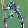 Dew-covered Robber Fly