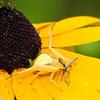 Female Crab Spider with Mosquito